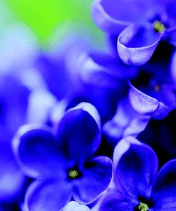 Ashleigh & Burwood Geurlamp vloeistof Violet Musk - Prana Puur | Cadeau winkel Roden